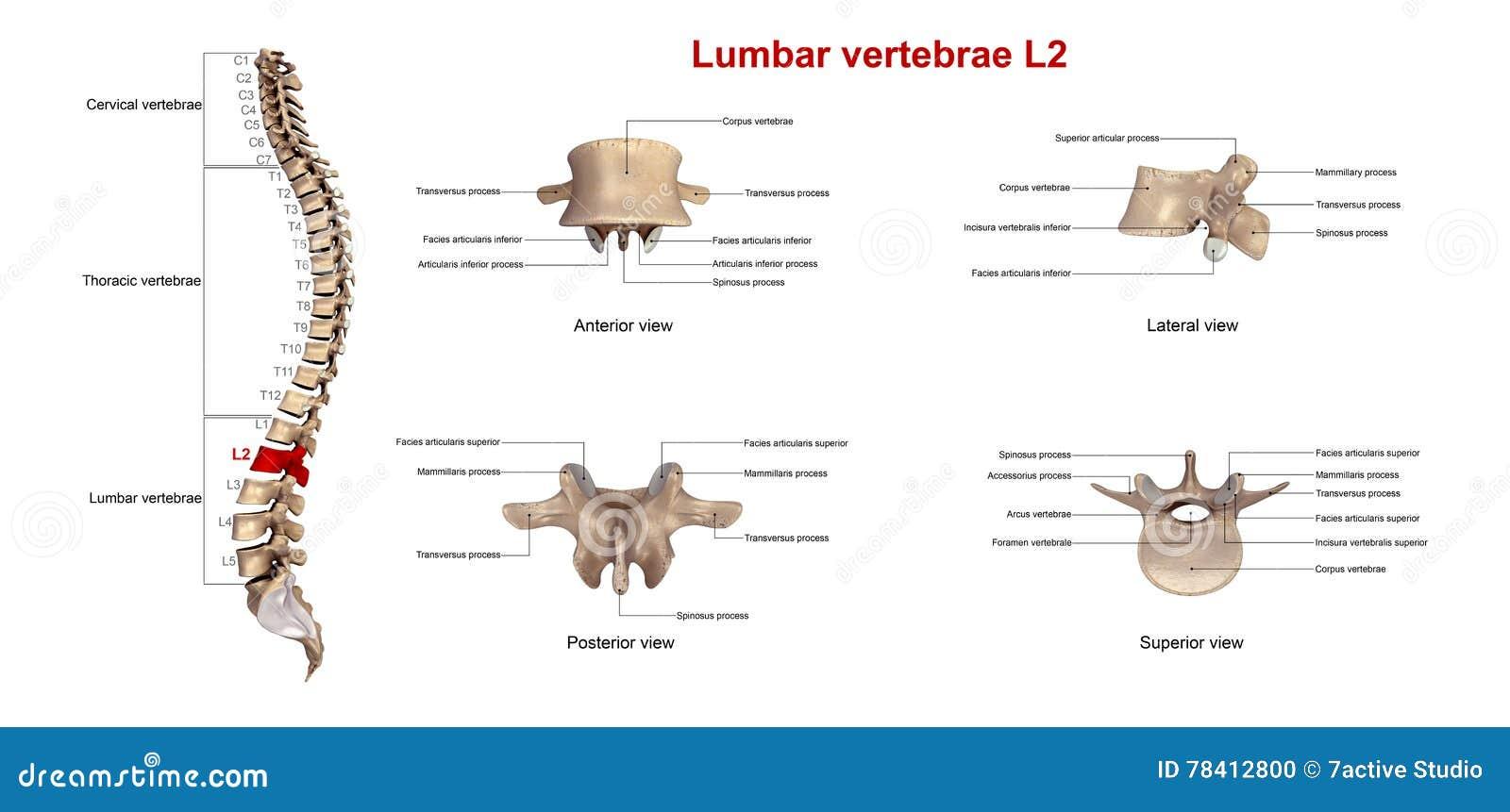 Lumbar vertebrae L2 stock illustration. Illustration of neck - 78412800