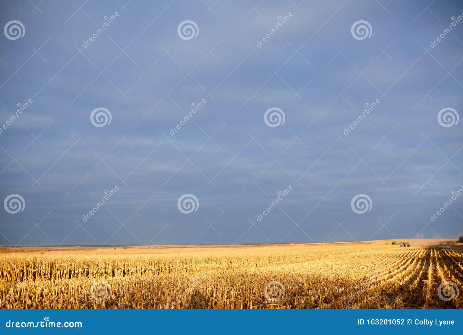 Lumière d or au-dessus d un gisement en partie moissonné de maïs