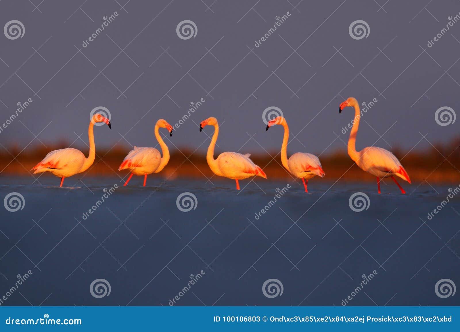 Lumière de matin, eau de mer Un plus grand flamant, ruber de Phoenicopterus, grand oiseau rose gentil, animal dans l habitat de n