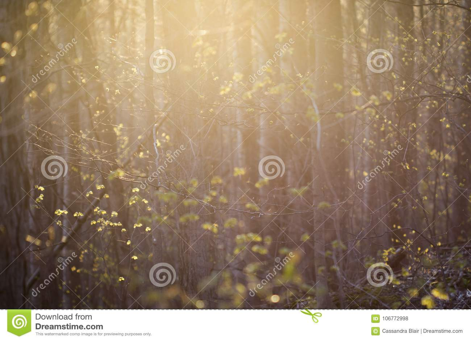 Lumière doucement rose et jaune sur une forêt de bourgeonnement