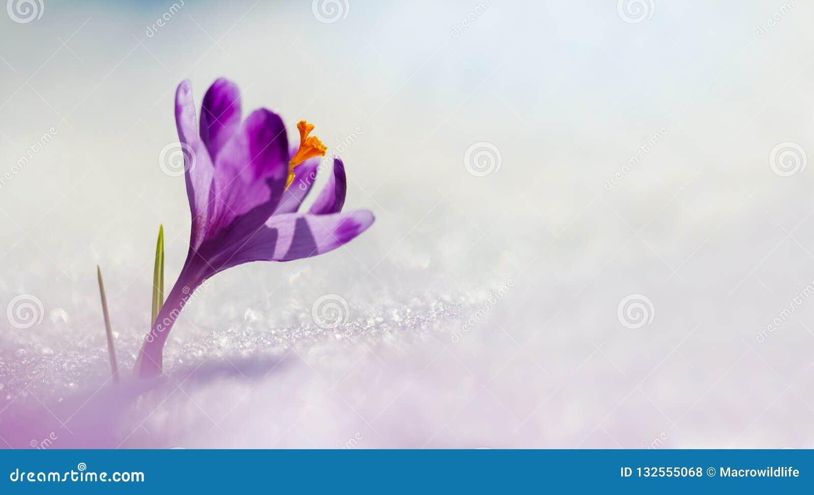 Lumière du soleil étonnante sur le crocus de fleur de ressort Vue de photo panoramique de bloomingBig magique de crocus majestueu