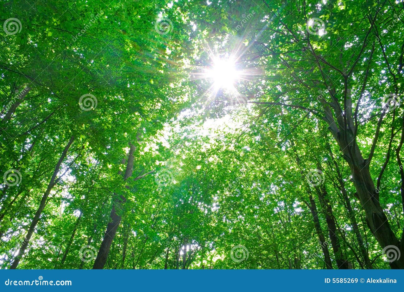 Lumière du soleil dans les arbres de la forêt