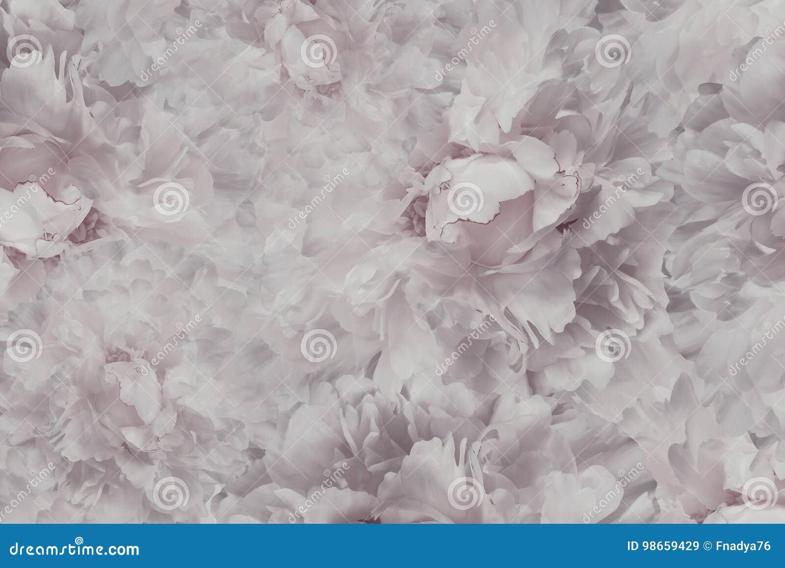 Lumière Florale - Rose - Beau Fond Blanc Papiers Peints De Pivoine ...