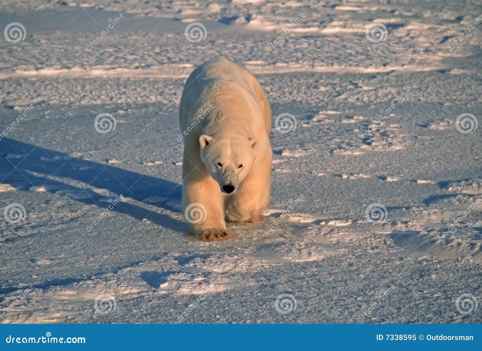 Lumière froide bleue d ours arctique polaire