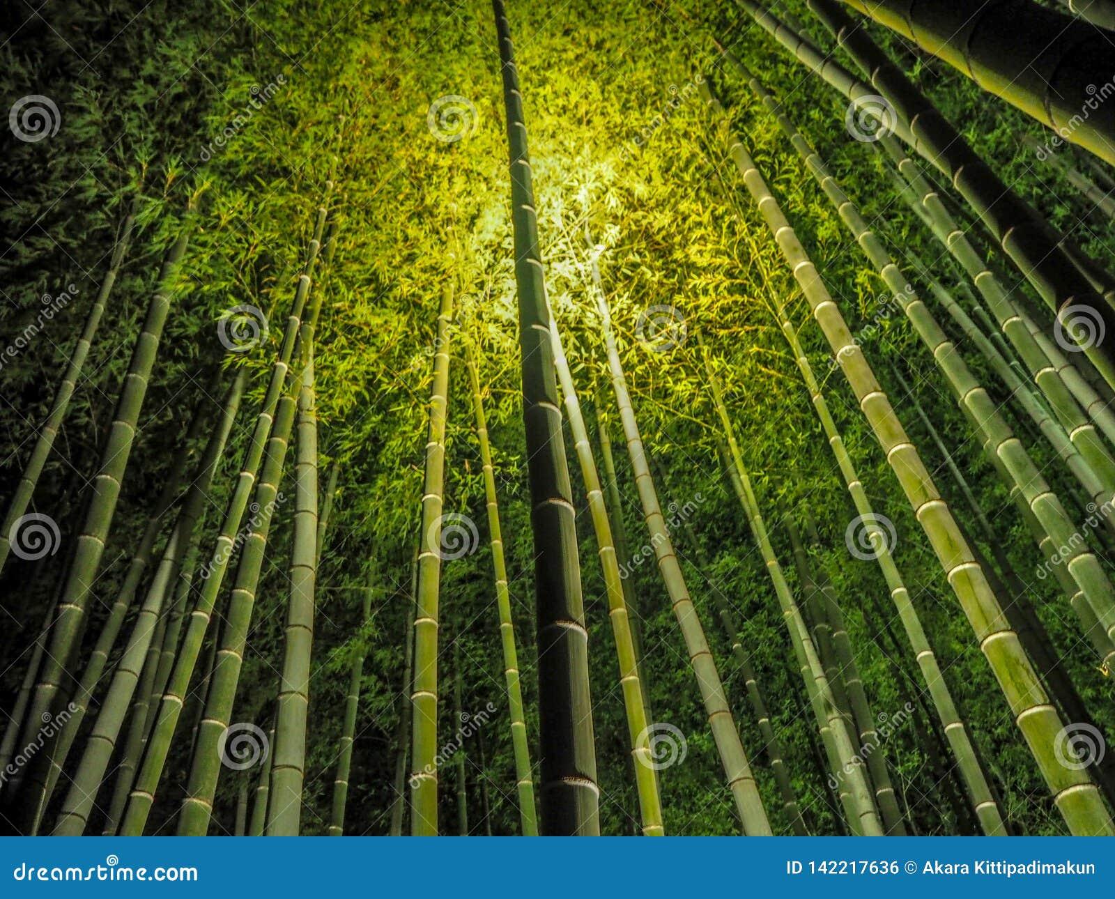 Lumière jusqu à la forêt en bambou