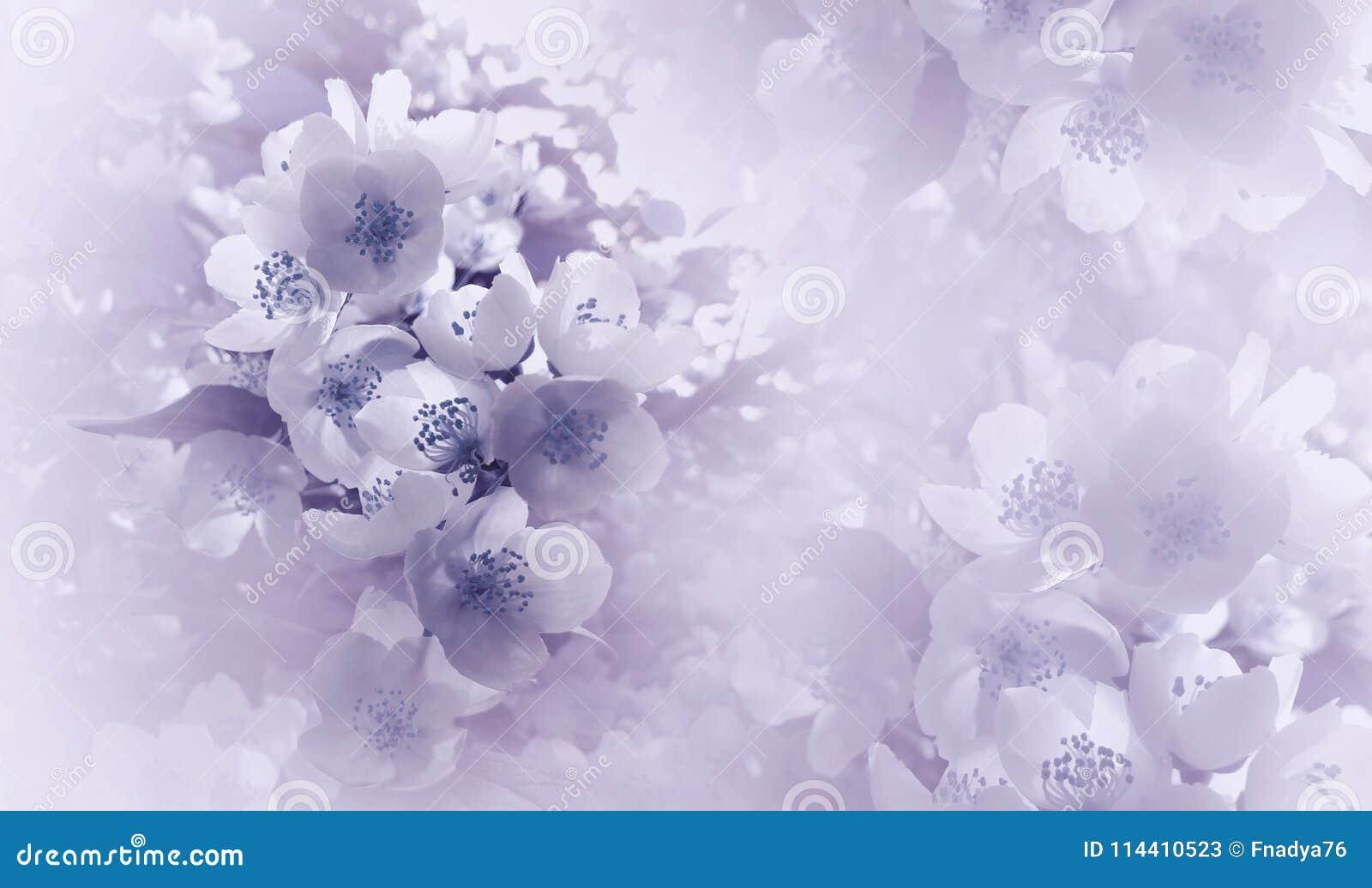 Lumière molle - violette - fond floral bleu Fleurs d une cerise sur un fond tramé blanc rose Plan rapproché Carte de voeux