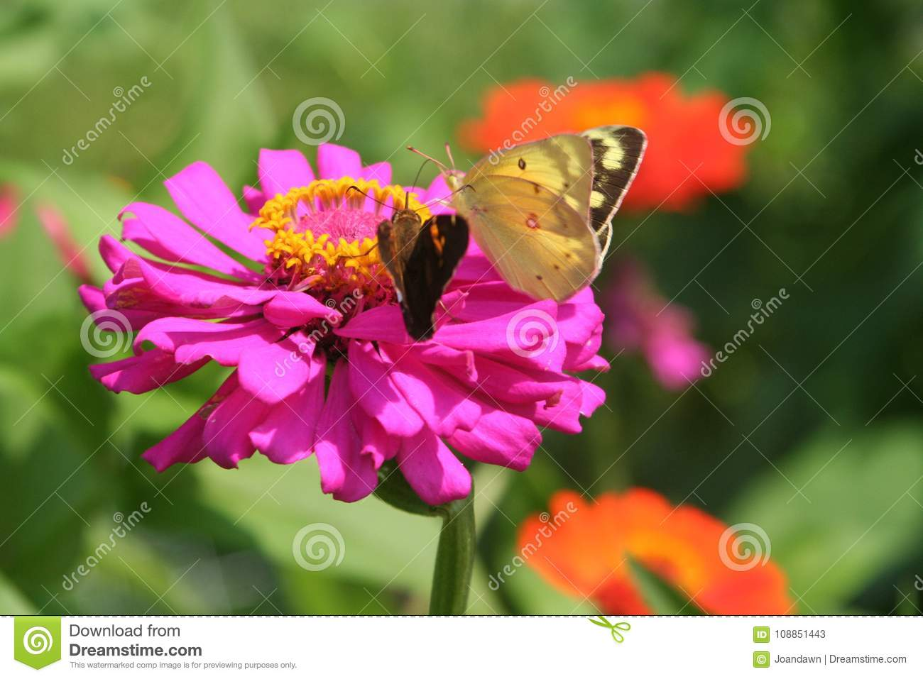 Luminous butterflies collect nectar from colorful zinnias