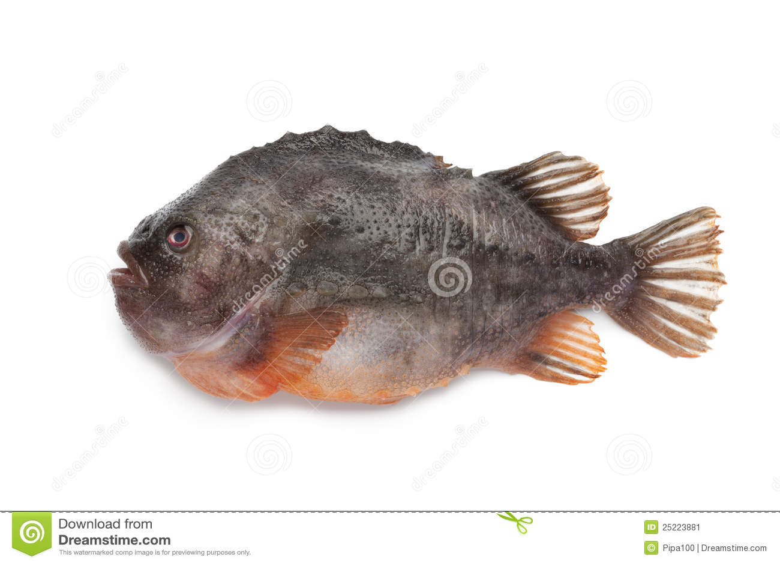 Lumpsucker fish