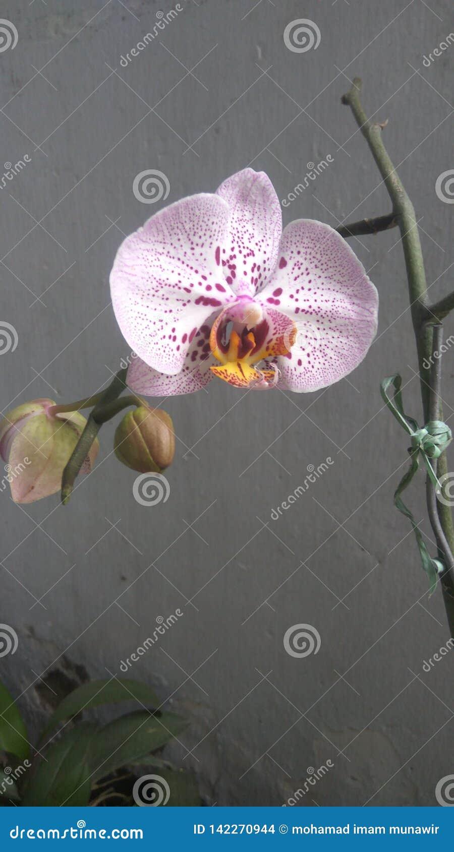 Luna dell orchidea