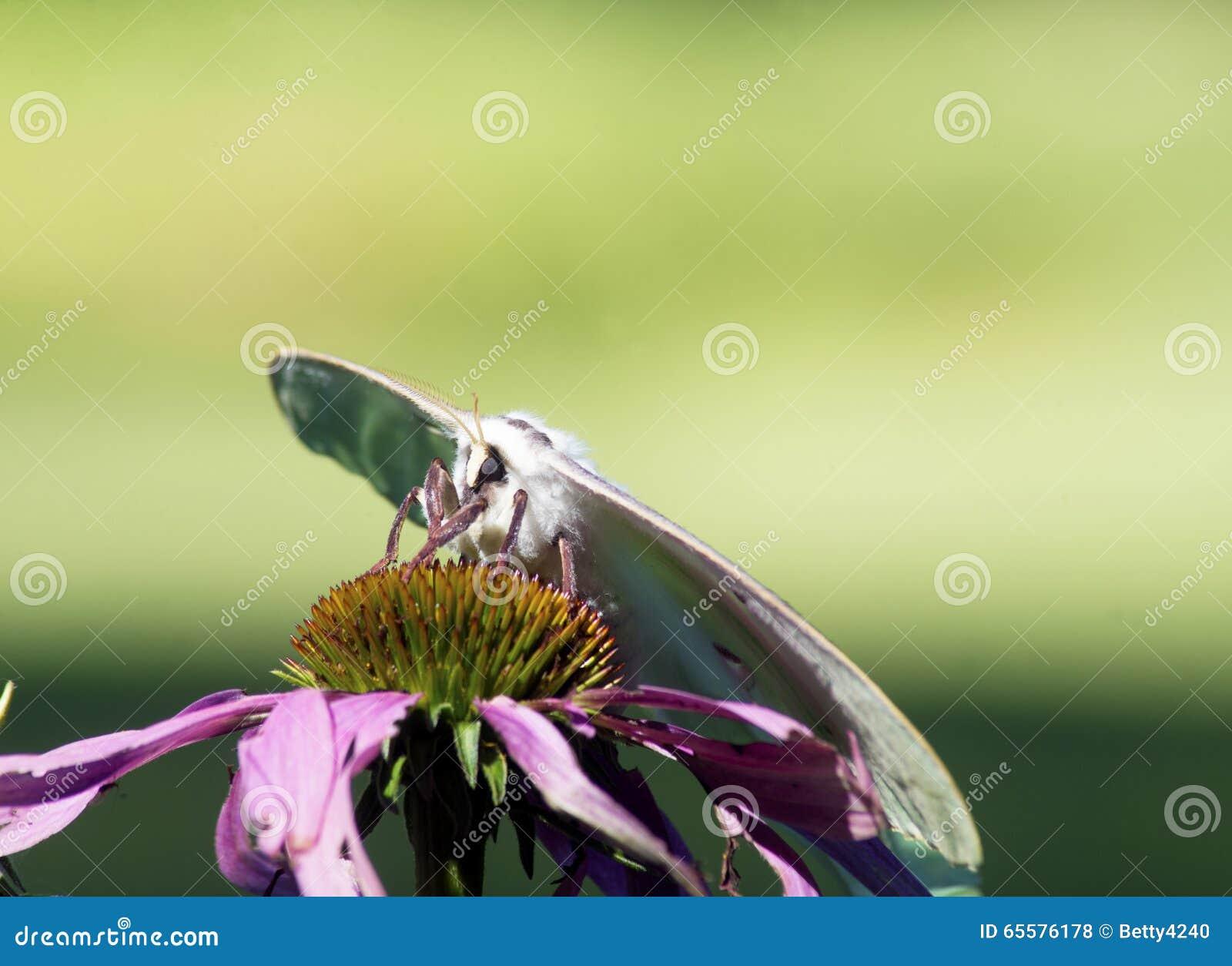 Luna Moth bonita empoleirada enfrentando o camea