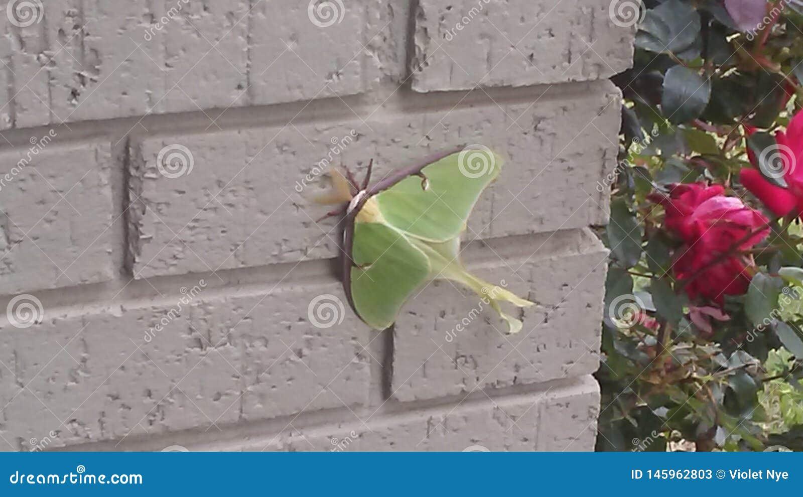 Luna Moth féminine au repos