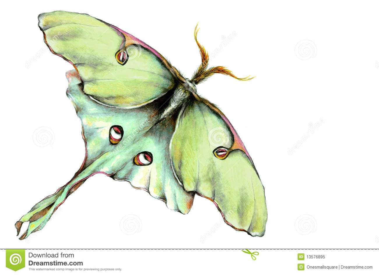Luna moth scientific illustration - photo#10