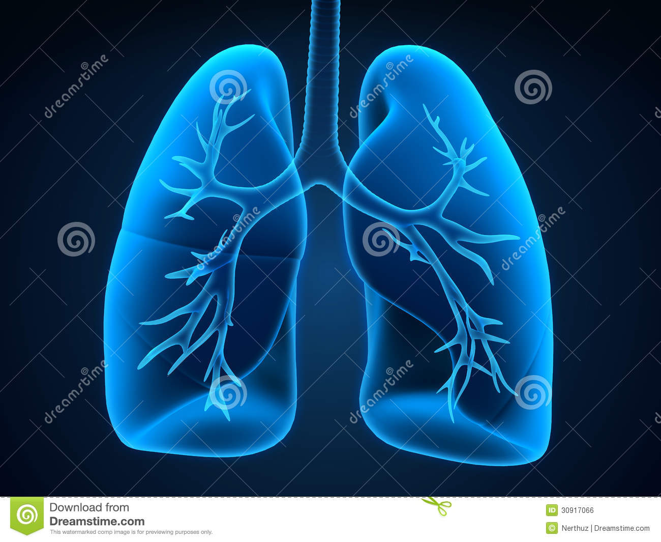 Lung and bronchi royalty free stock image image 30917066 for Rendering 3d online gratis