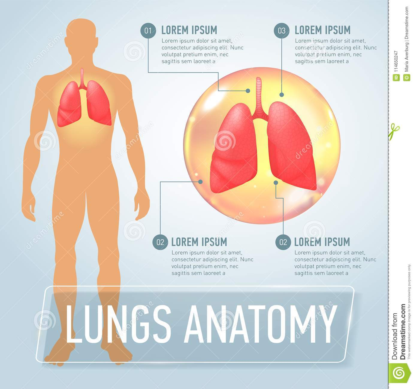 Lung Modern Medical Infographics Internal Organs In A Human Body