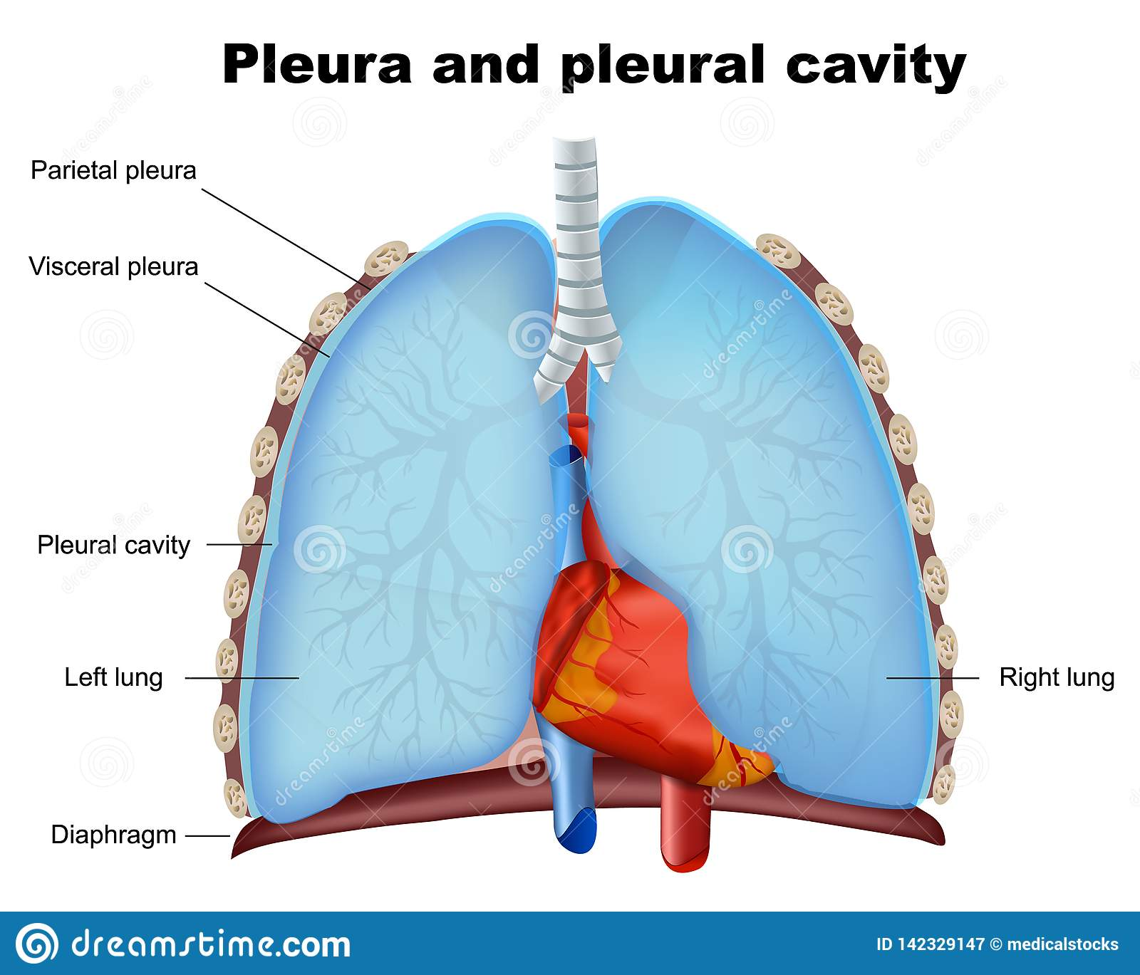 Lung pleura and pleural cavity medical illustration on white background