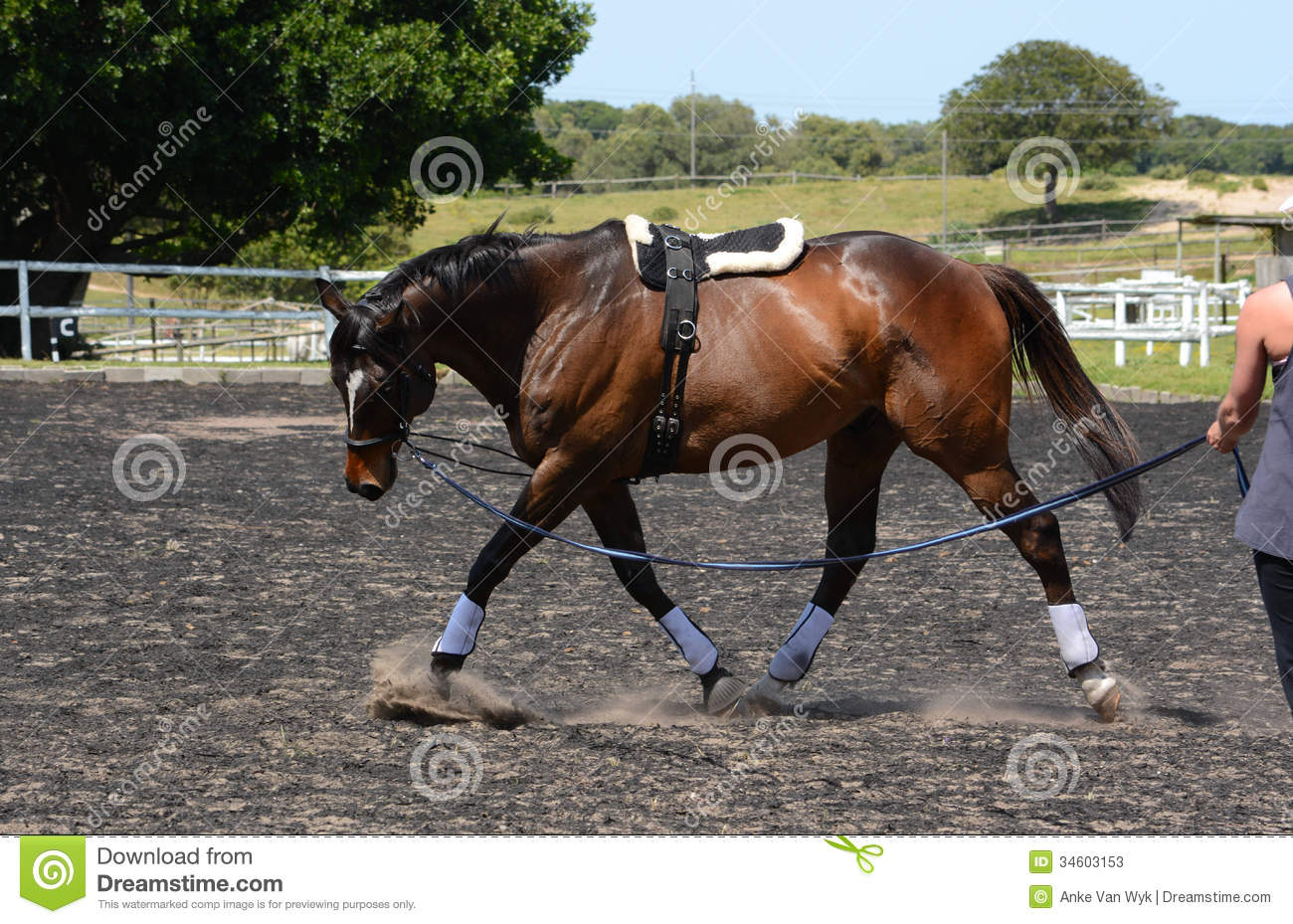 Horse Lunging Stock Photos Image 34603153