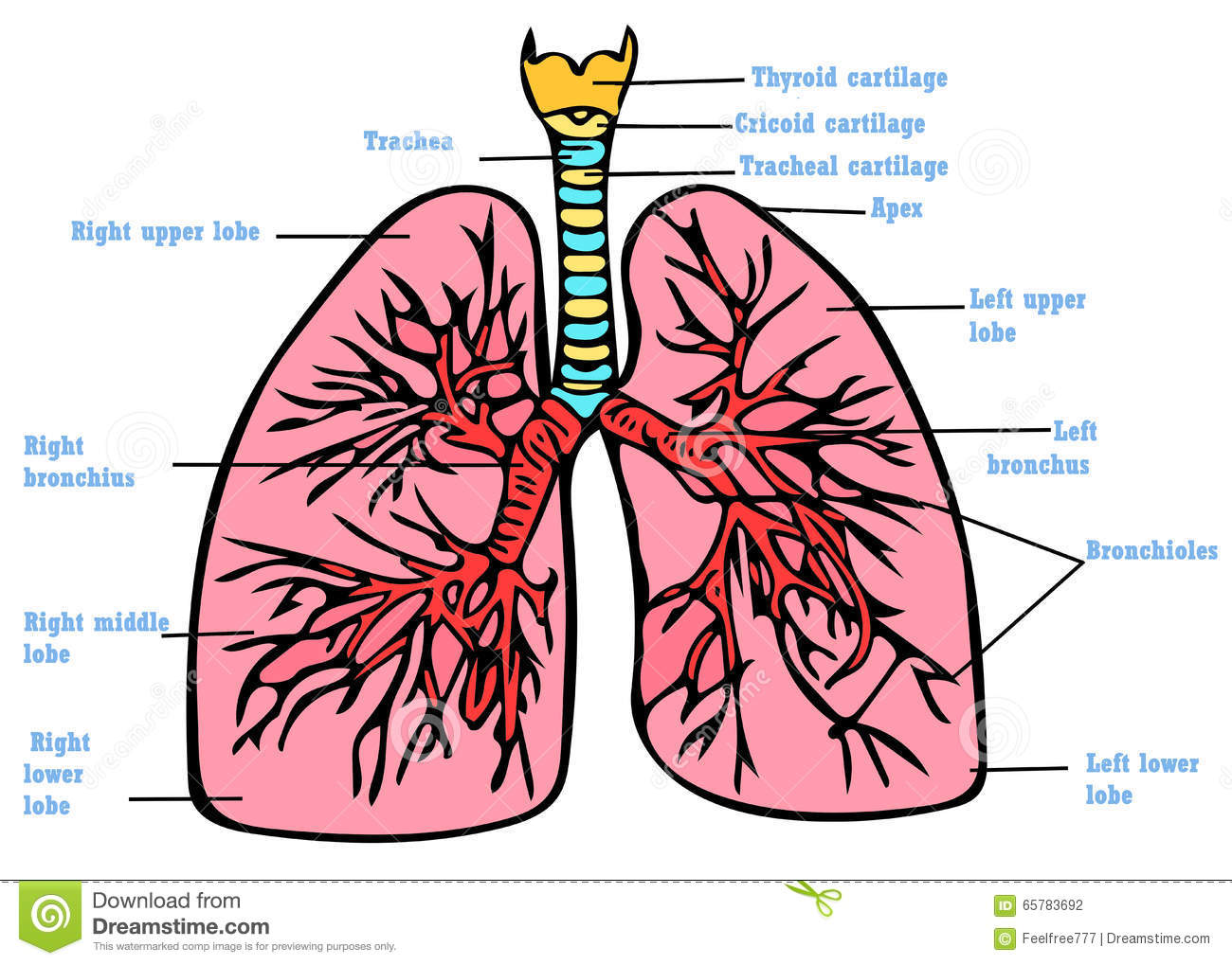 Lungs Anatomy Scheme Stock Illustration Illustration Of Scheme