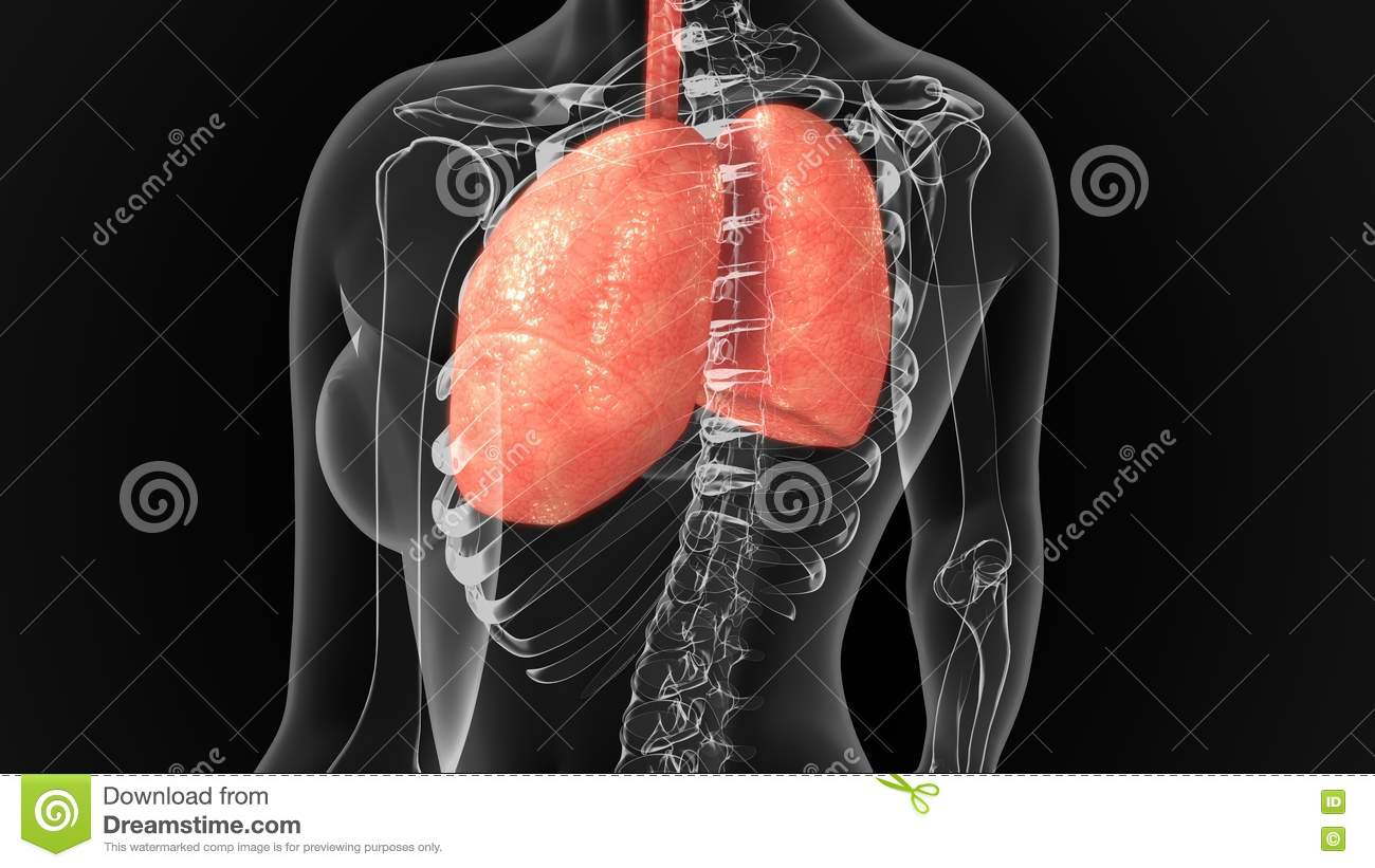 Lungs Stock Image Image Of Windpipe Vertebrates Human 75367985
