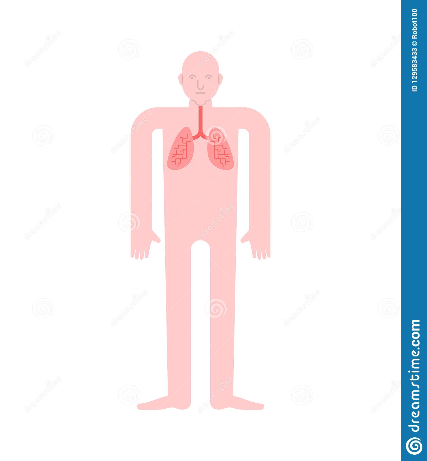 Lungs Human Anatomy Gastrointestinal Tract Internal Organs Systems