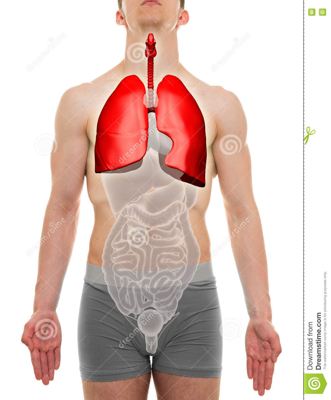 organ men Continued from above anatomy of the male reproductive system scrotum the scrotum is a sac-like organ made of skin and muscles that houses the testes.