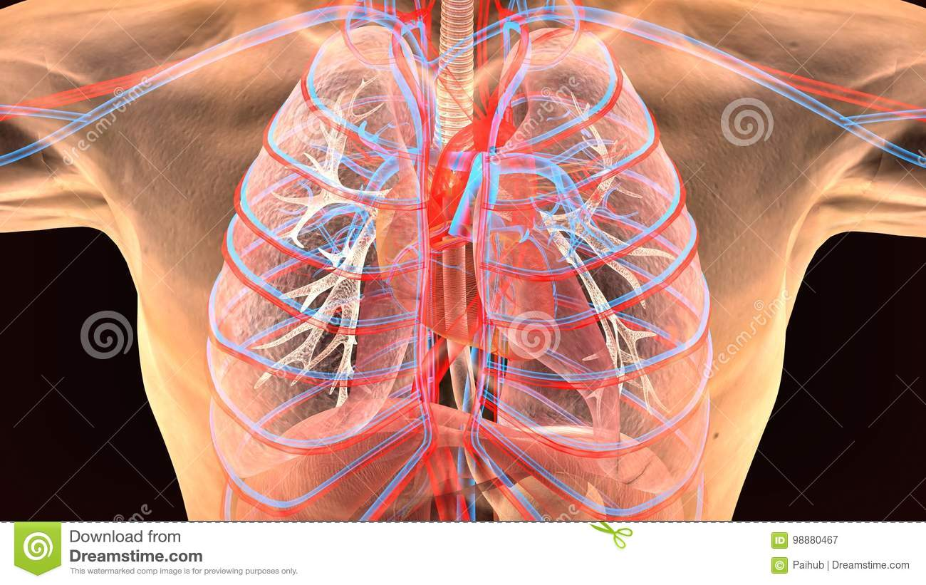 3d Illustration Of Human Body Lungs Anatomy Stock Illustration ...