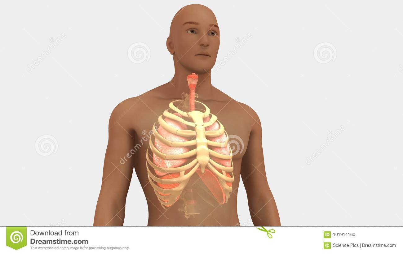 Lungs and Rib Cage stock illustration. Illustration of pleura ...
