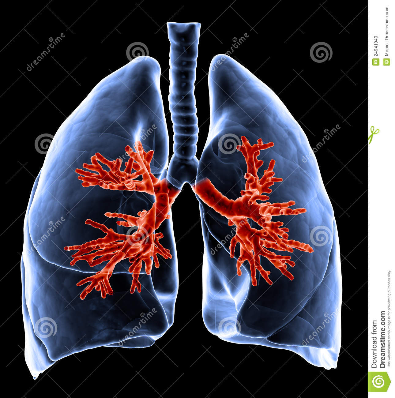 Lungs With Visible Bronchi Stock Illustration. Image Of