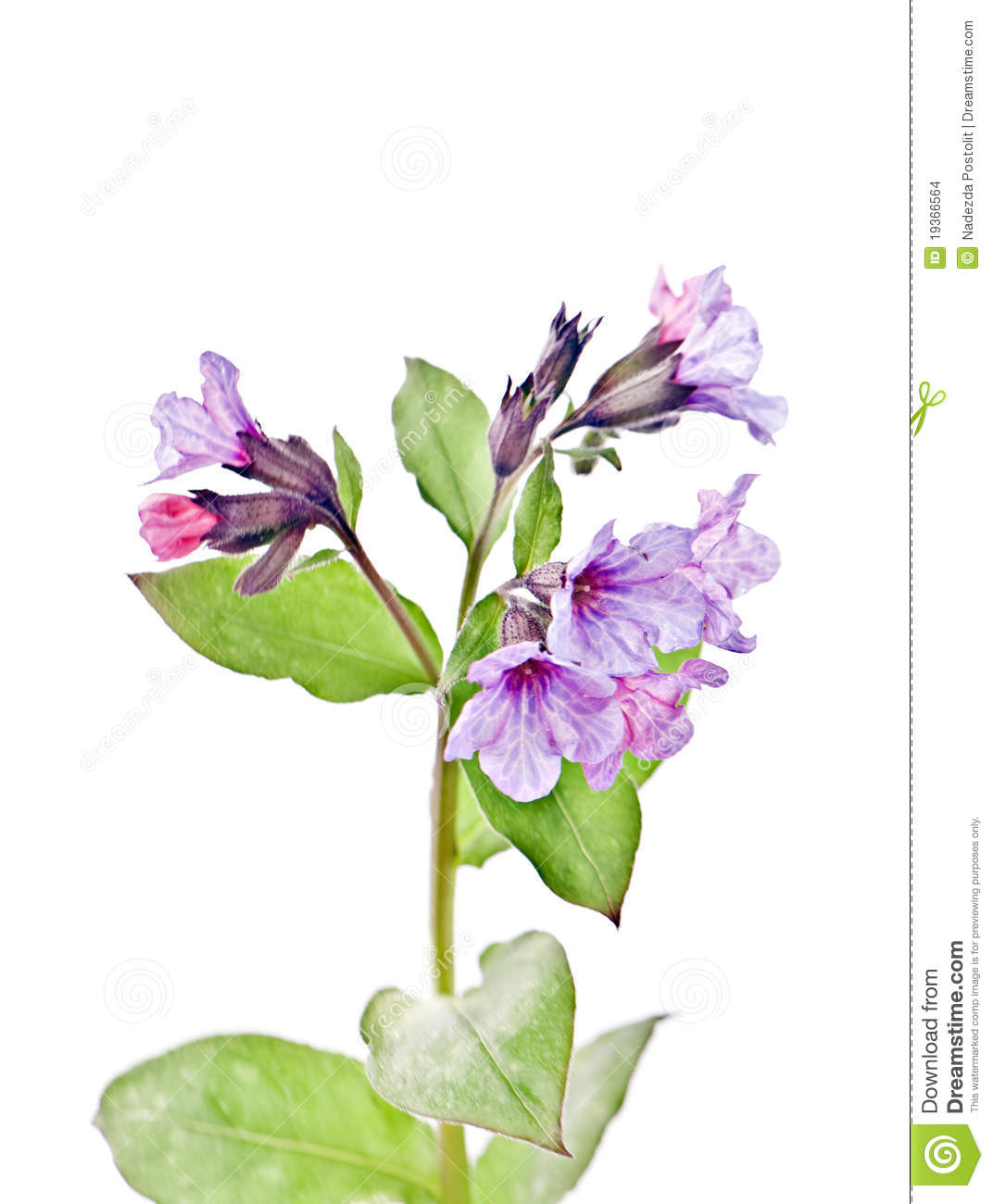 Lungwort, officinalis L. de Pulmonaria,