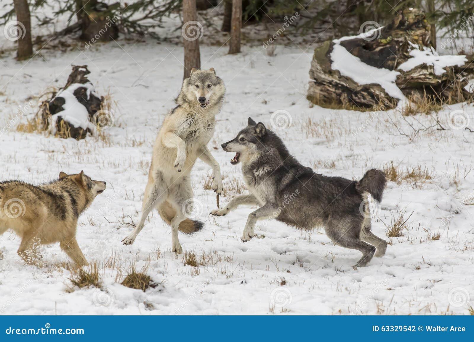 Lupi della tundra