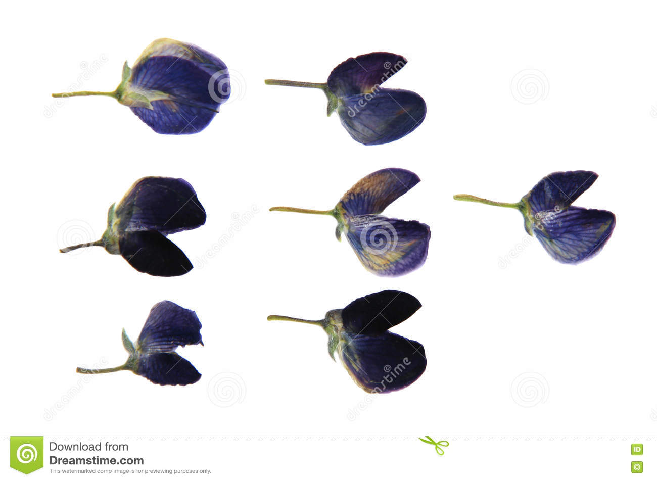 How to scrapbook pressed flowers - Lupine Dark Blue Dry Perspective Delicate Pressed Flowers And P