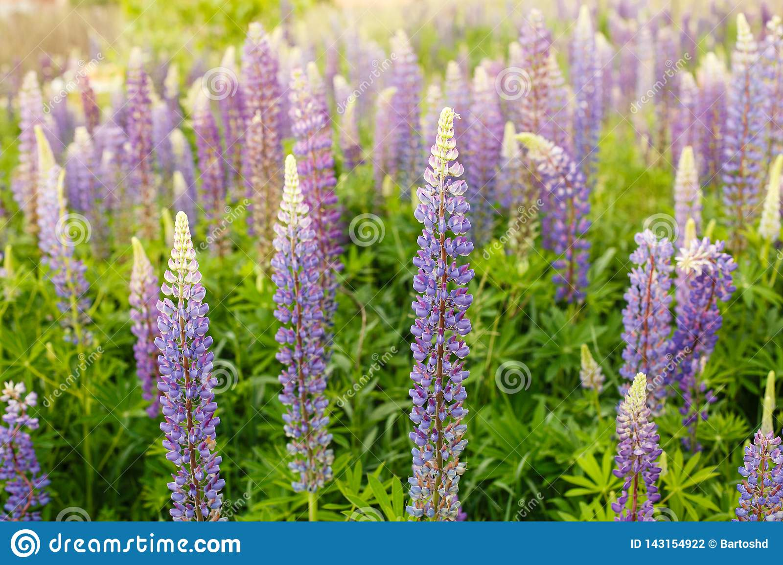 Lupine field with pink purple and blue flowers. Bunch of lupines summer flower background. Lupinus