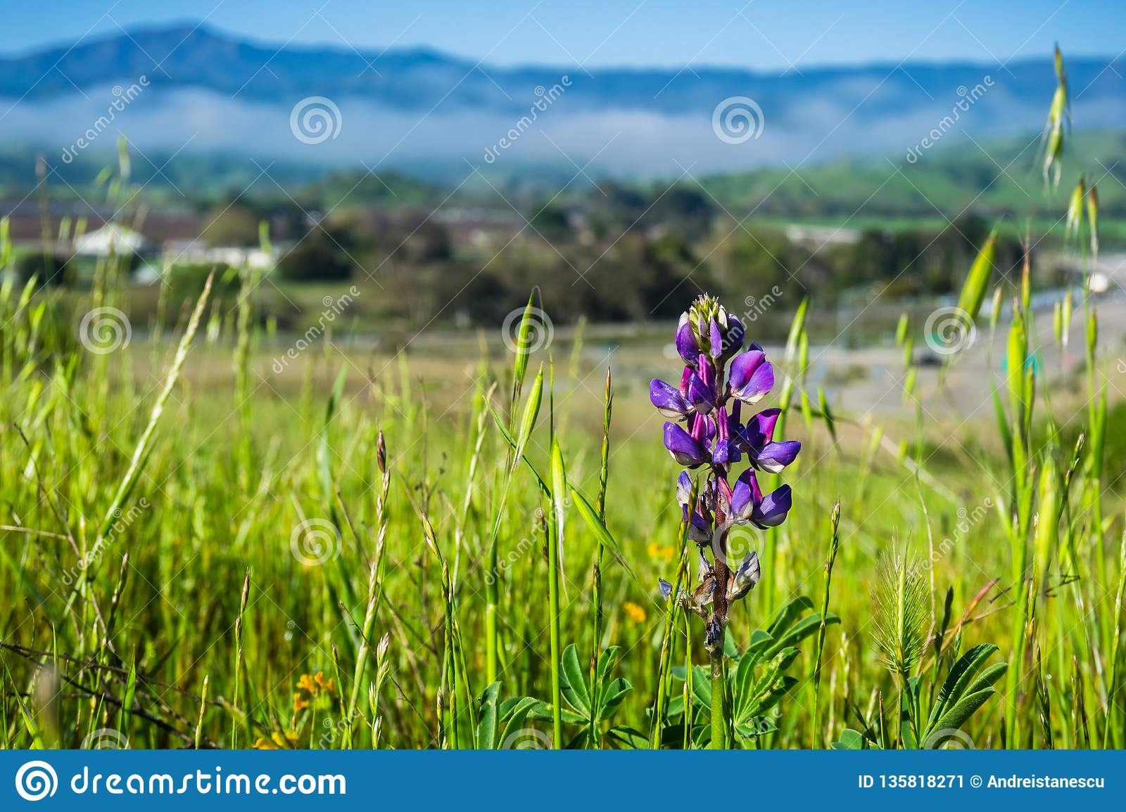 Lupine Flower Blooming Among Tall Grass South San Francisco Bay
