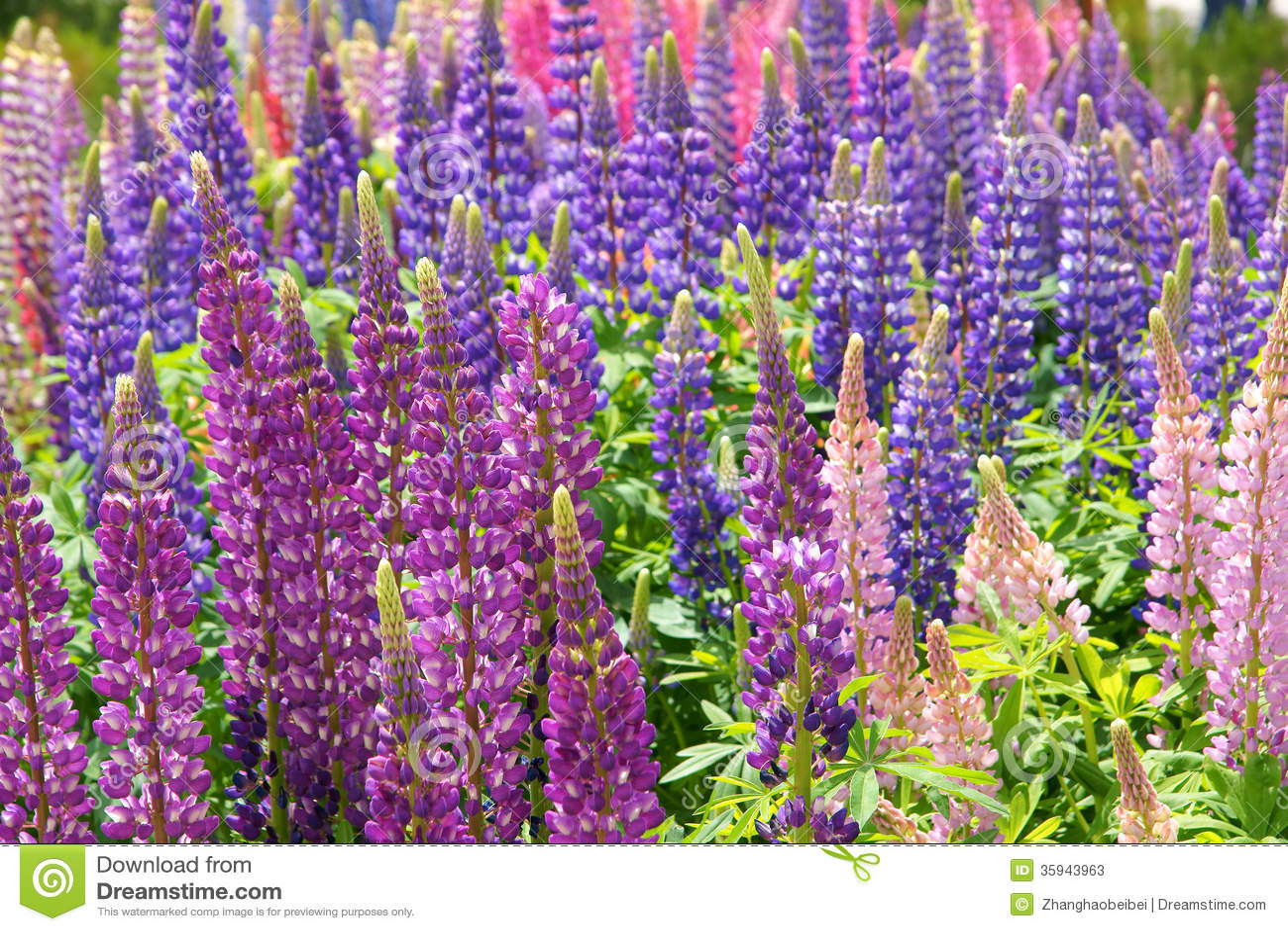 Lupine Flowers Stock s Image