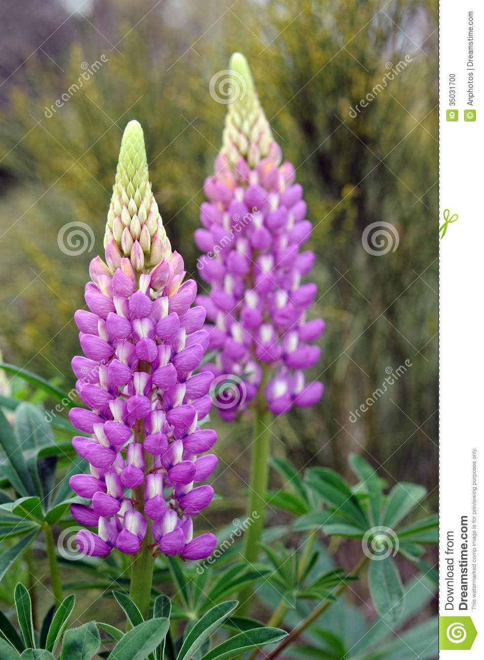 lupine flowers stock photo  image, Natural flower