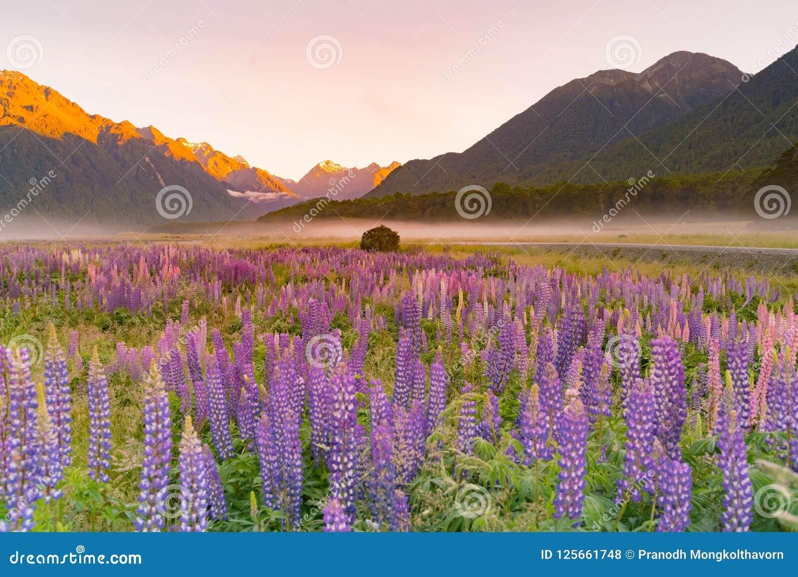 Lupine purpere kleur in berg, Nieuw Zeeland