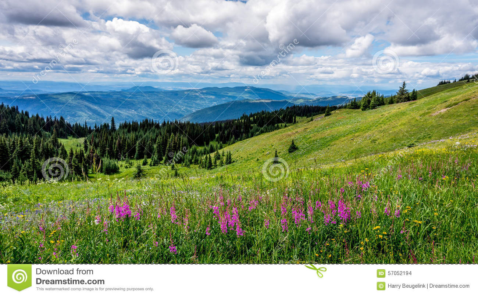 Lupinebloemen in Hoge Alpiene Weiden