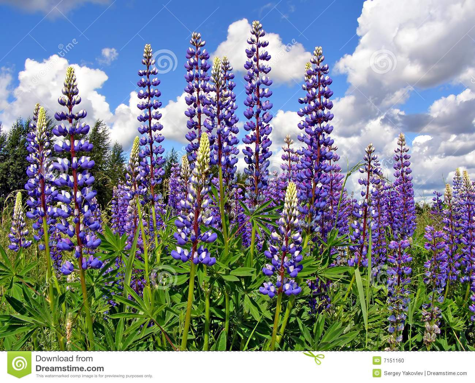 Lupines de Flowerses