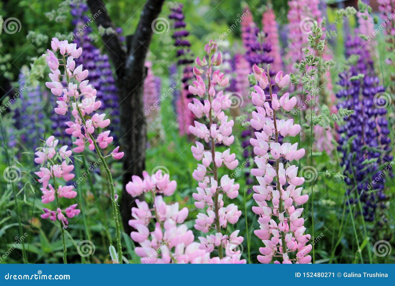 Lupins lilas et roses dans le jardin en été