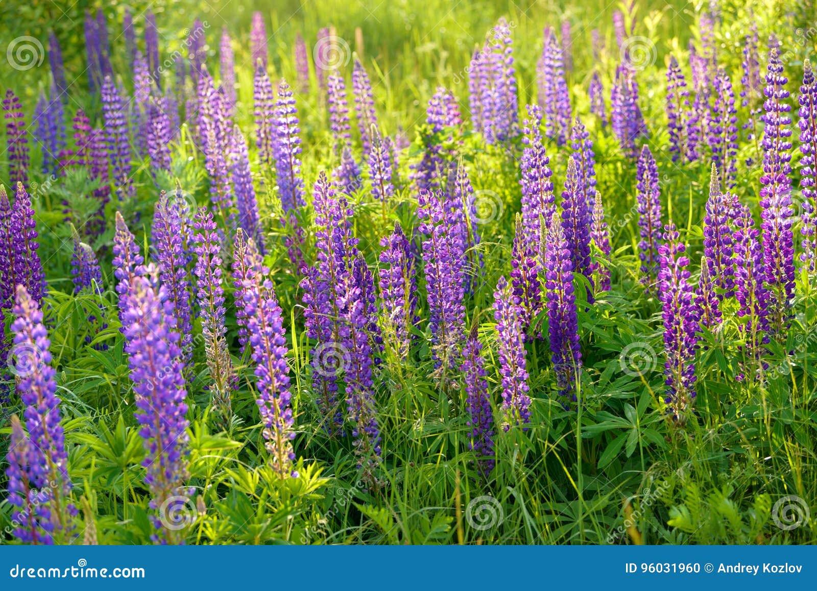 Lupinus, łubin, lupine pole z różowymi purpurami i błękit, kwitniemy