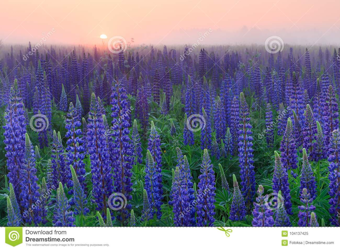 Lupinus Field With Blue Flowers At The Misty Sunrise Stock Image