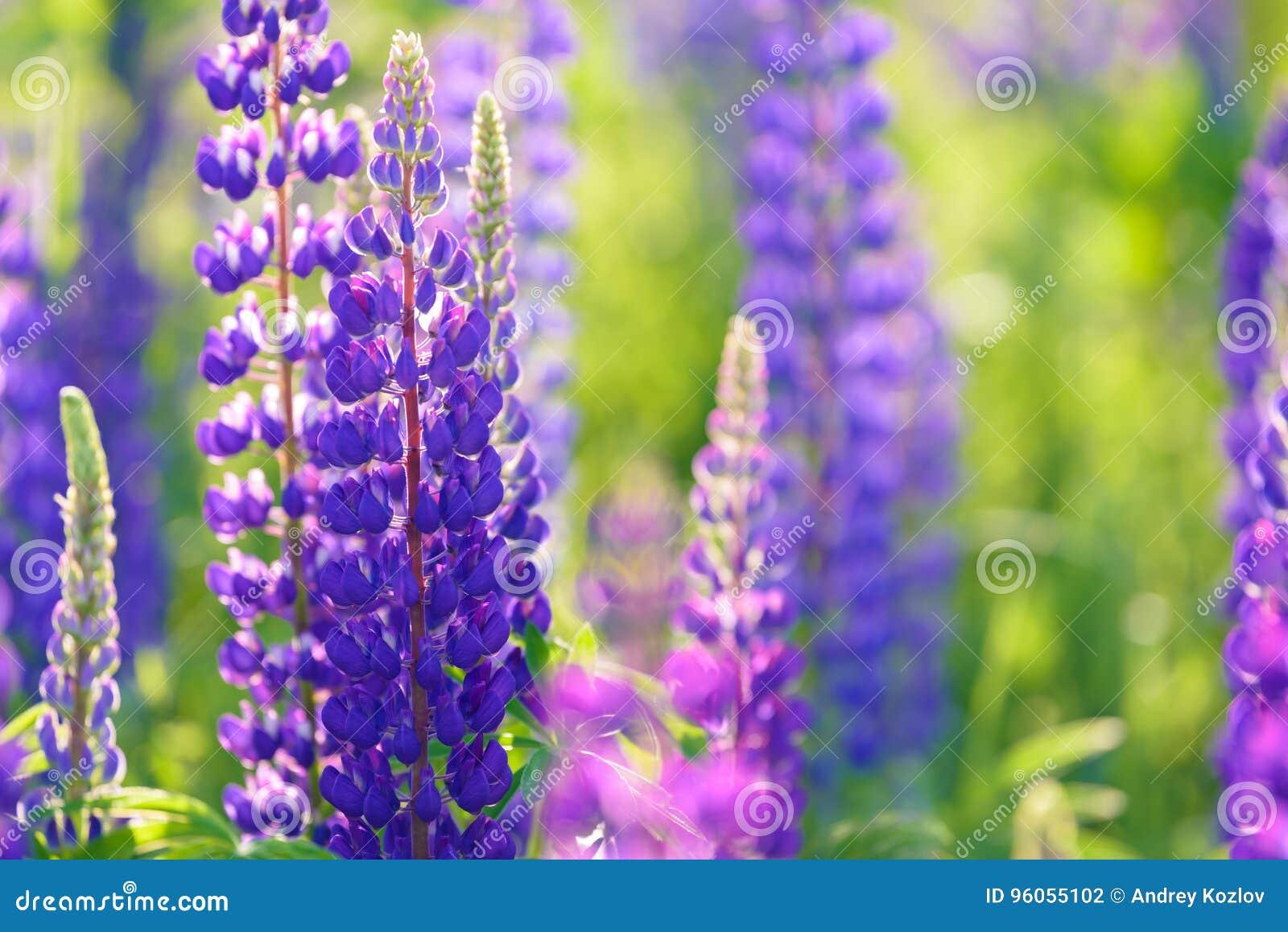 Lupinus, lupin, champ de loup avec les fleurs pourpres et bleues roses