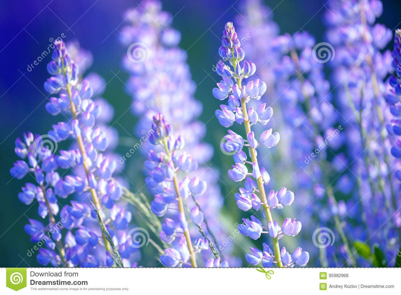Lupinus Lupin Lupine Field With Pink Purple And Blue Flowers Stock