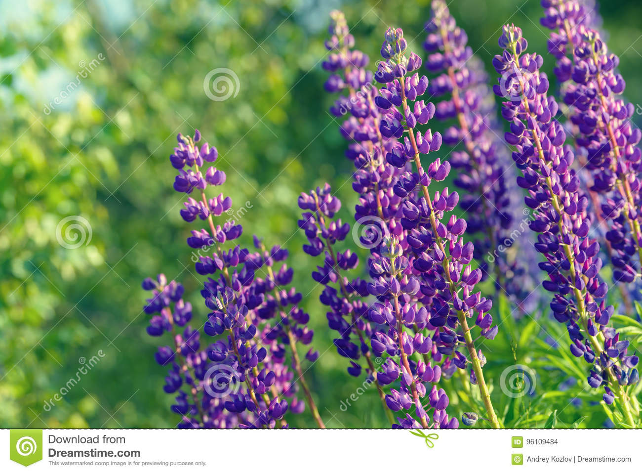 Lupinus lupin lupine field with pink purple and blue flowers stock download lupinus lupin lupine field with pink purple and blue flowers stock photo mightylinksfo