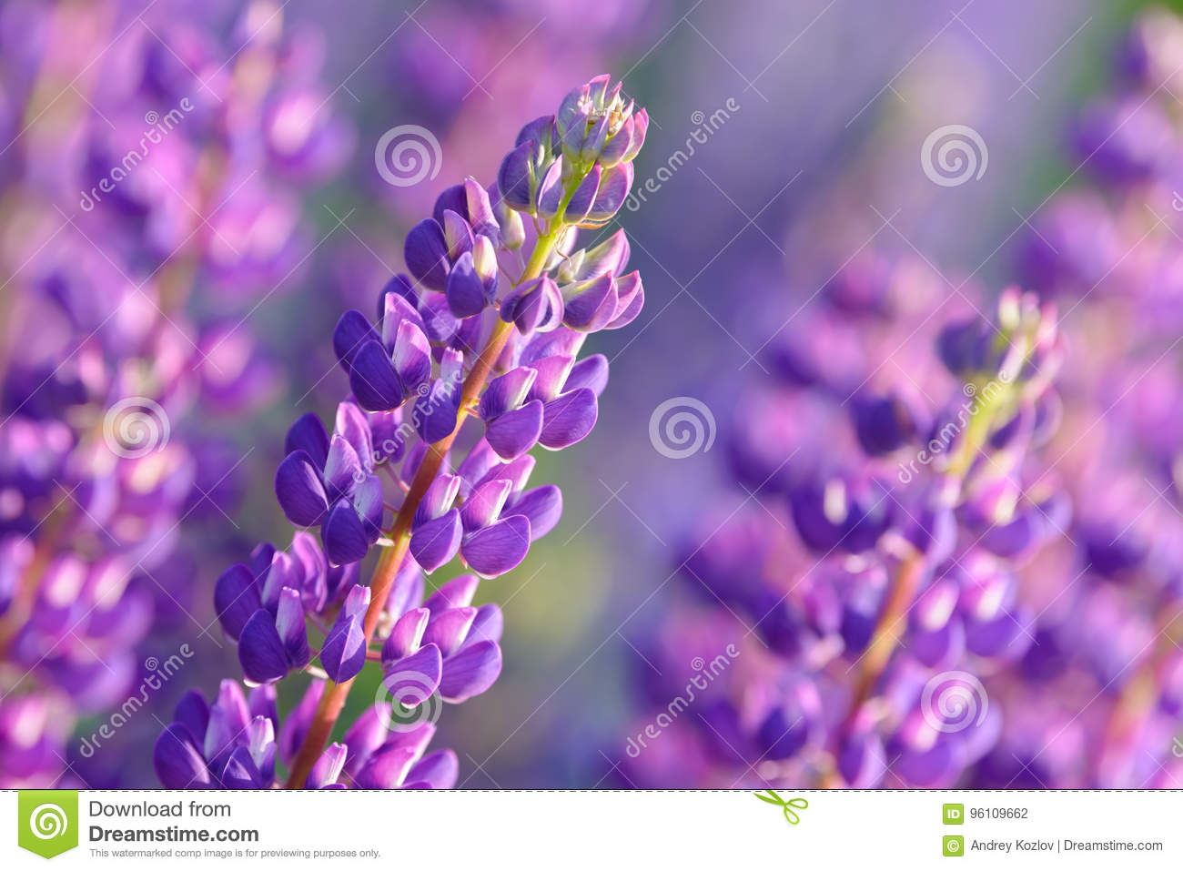 Lupinus lupin lupine field with pink purple and blue flowers stock lupinus lupin lupine field with pink purple and blue flowers mightylinksfo