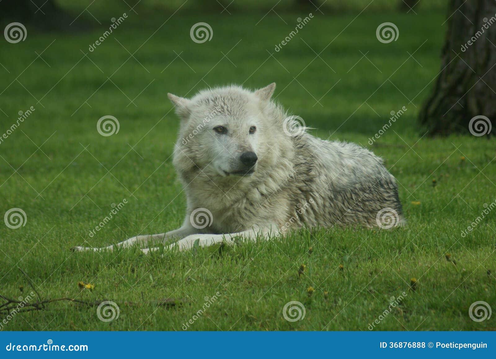 Download Lupo Comune Canadese - Lycaon Del Canis Fotografia Stock - Immagine di famiglia, class: 36876888