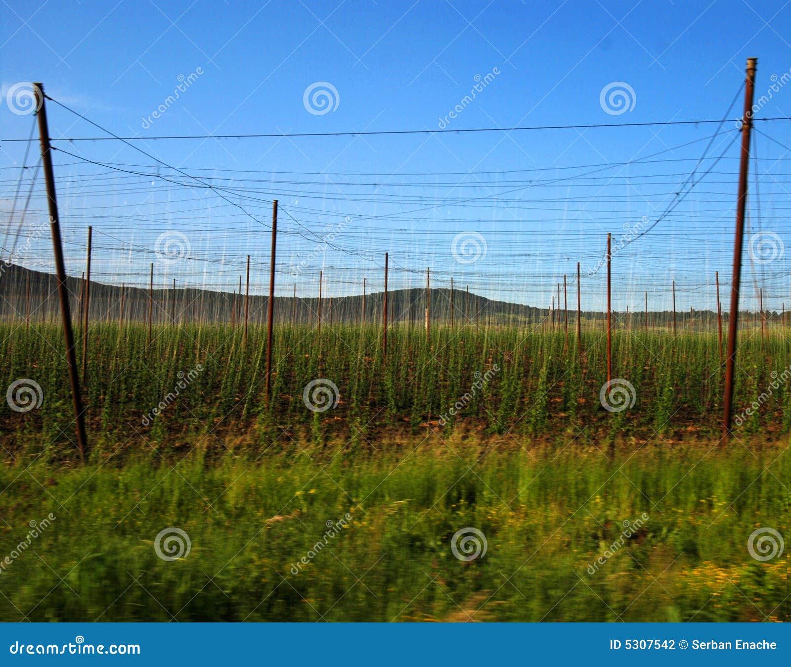 Download Luppoli crescenti fotografia stock. Immagine di traliccio - 5307542
