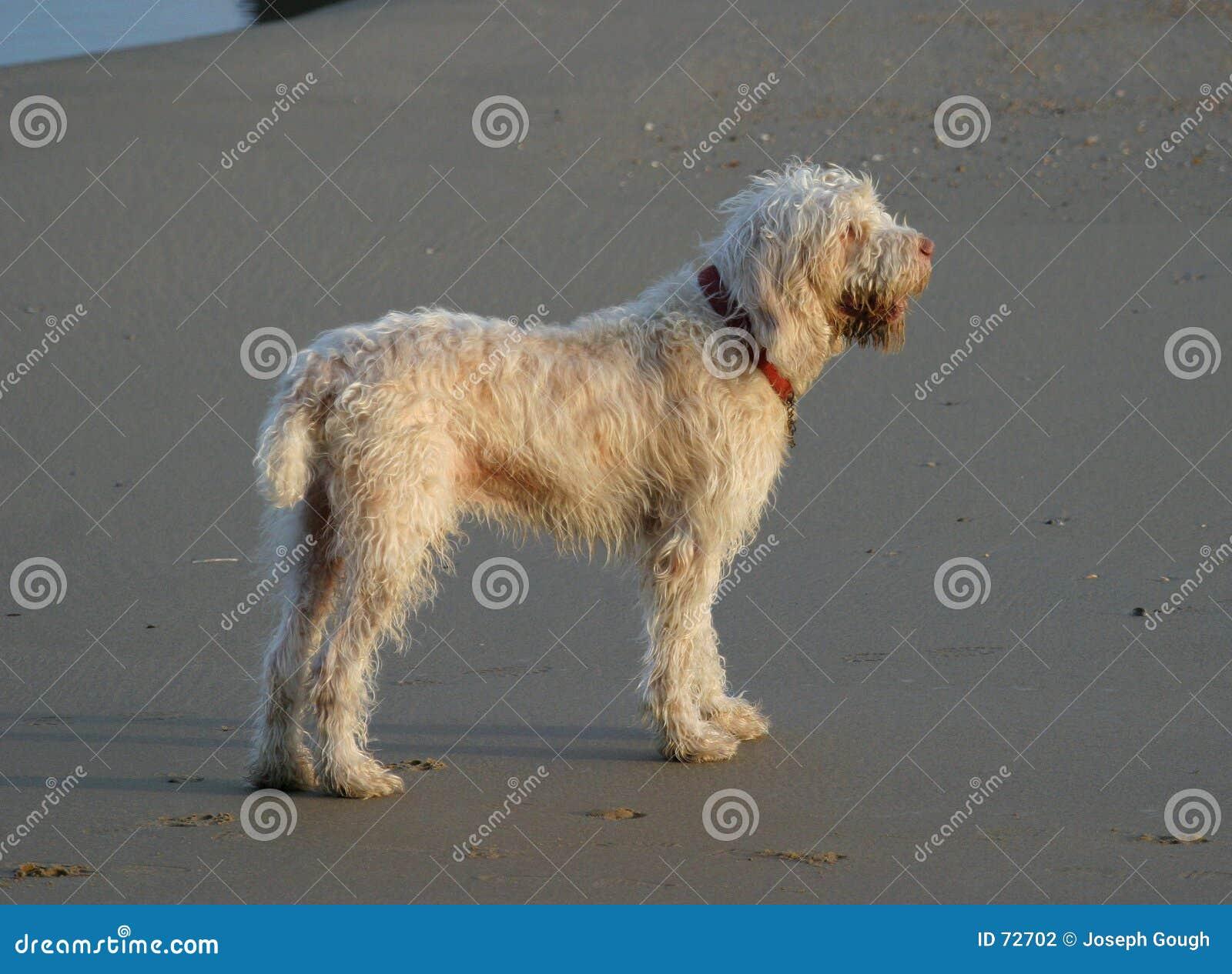 Lurvig hund