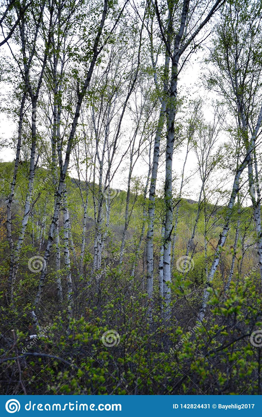 Green birch trees in the forest