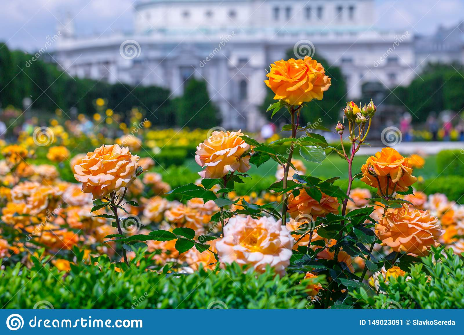 Lush blooming orange roses in rose garden. Volksgarten(people's park) in Vienna, Austria