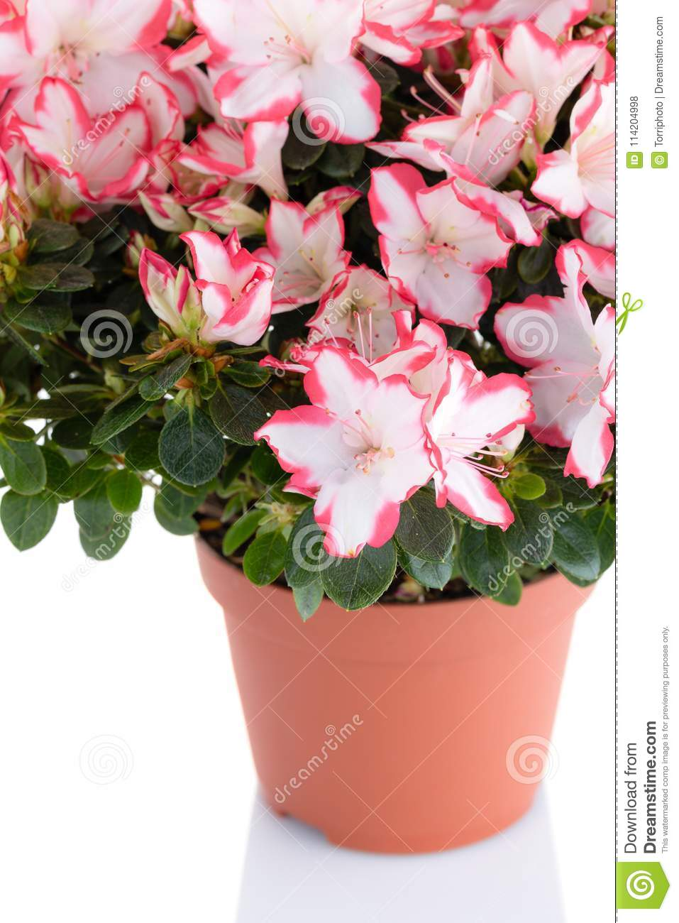 Blooming plant of azalea in flower pot isolated on white backgro lush blooming plant of azalea in flower pot isolated on white background pink and white rhododendron flower shop and care for house plants concept mightylinksfo